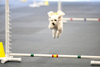 All Dogs Gym Agility March 3 Jumpers 345C_1DM30699